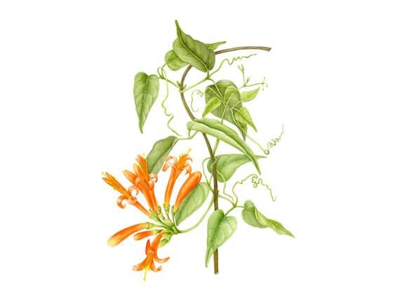 Ilustração Botânica: Plantas Brasileiras
