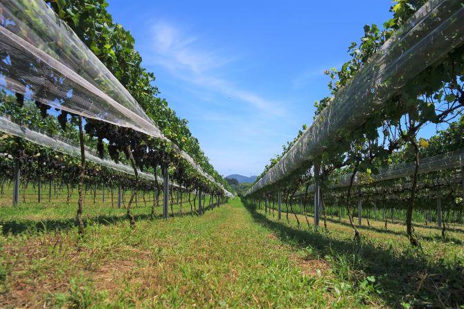 Seis vinícolas na região de Curitiba que oferecem visita e degustação