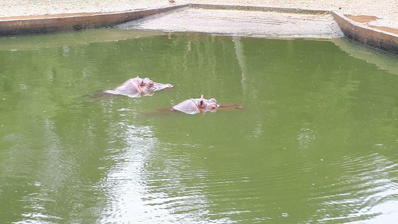 Os hipopótamos passam a maior parte do tempo na água e podem permanecer até 8 minutos completamente submersos.
